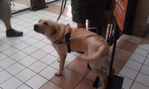 Guide Dog Jethro, handsome in his harness